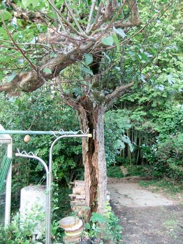 2012.8.22 庭の果樹 032
