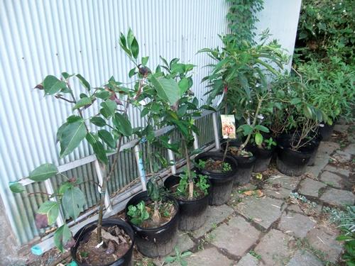 2012.8.22 庭の果樹 041