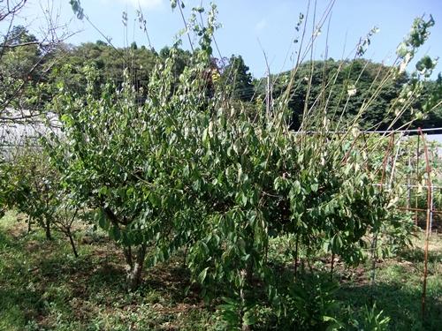 2012.9.12 9月の野菜・果樹 050 (19)