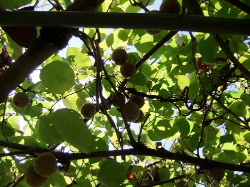 2012.9.12 9月の野菜・果樹 050 (8)