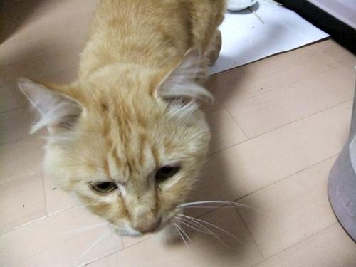 2012.10.19 迷い込んだ猫 006 (3)
