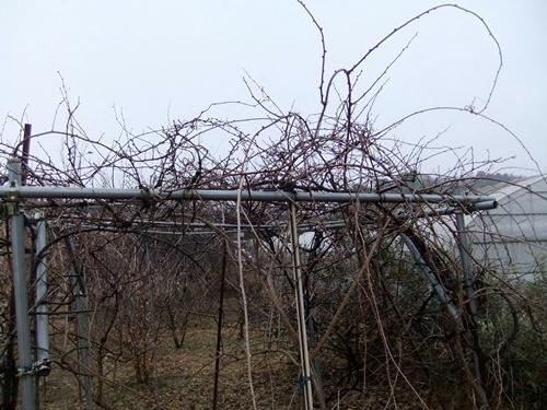 2012.12.30 年末風景(果樹) 018 (2)
