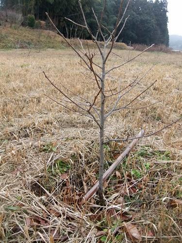 2012.12.30 年末風景(果樹) 041 (5)