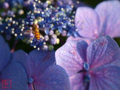 紫陽花とホソヒラタアブ