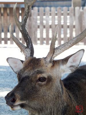 奈良の雄鹿