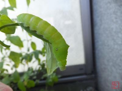 アオスジアゲハの終齢幼虫