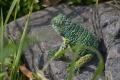 140205緑カエル02