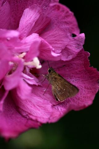 蝶々が槿にヒソヒソ話。