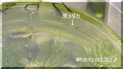 黒メダカの稚魚6匹