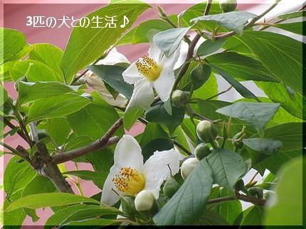 しゃらの木(ナツツバキ)