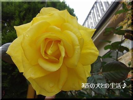 黄色のばら