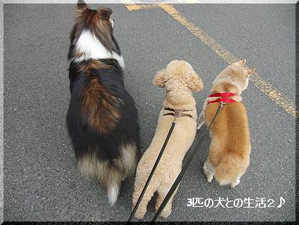 3匹の散歩
