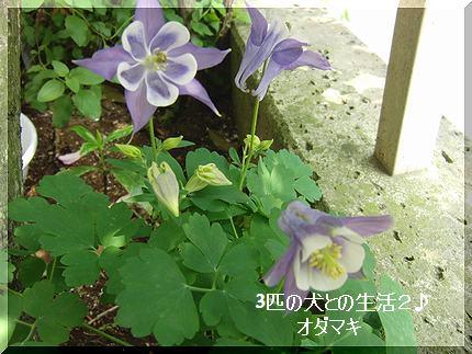 オダマキがさいた・・可愛い花です