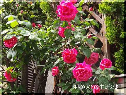 バラがきれいです