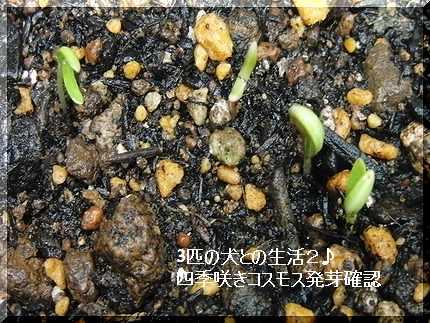四季咲きコスモスの芽がでたわ