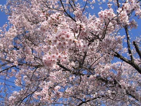 H240424桜の蕾