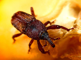 275px-Maize_weevil.jpg