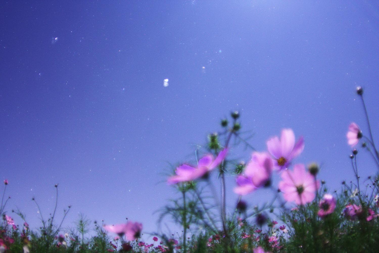 コスモスと星空s-IMG_8218B2.jpg