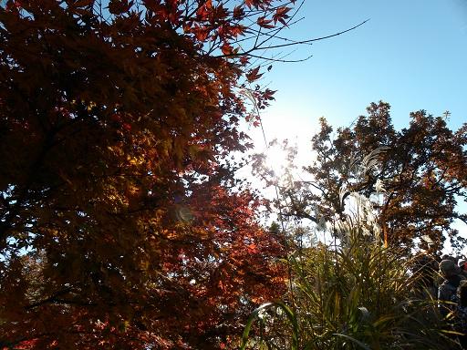 陽に透ける 椛の紅と 箒草