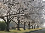 静かなさくら並木