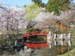 赤い橋と池と桜