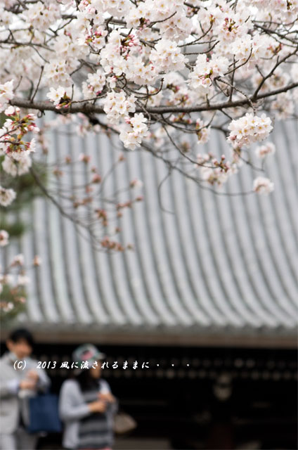 2013年 桜を探して・・・ 京都・金戒光明寺(くろ谷)の桜1