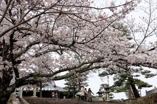 2013年 桜を探して・・・ 京都・金戒光明寺(くろ谷)の桜2