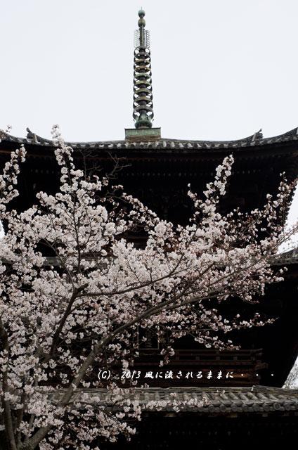 2013年 桜を探して・・・ 京都・金戒光明寺(くろ谷)の桜4