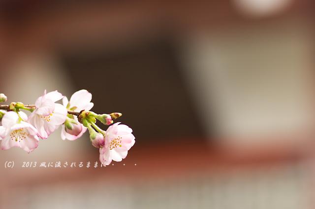2013年 車折神社の桜1