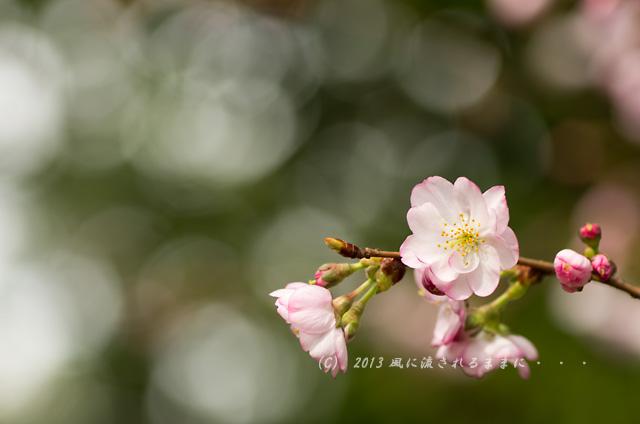 2013年 車折神社の桜2