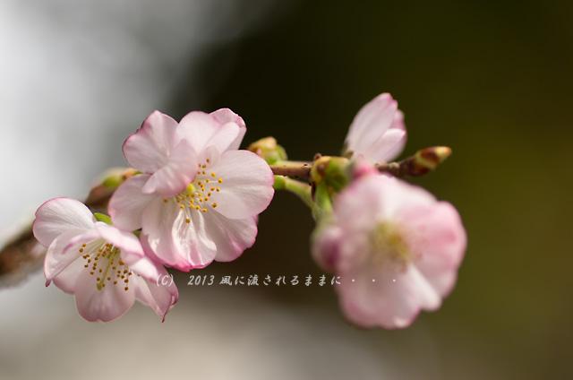 2013年 車折神社の桜3