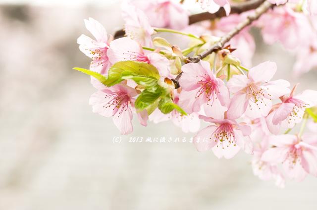 2013年 車折神社の桜6