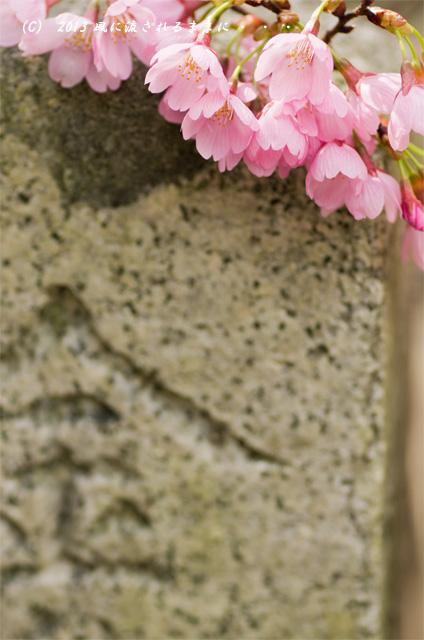 2013年 車折神社の桜8