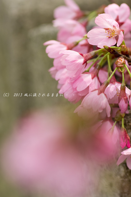 2013年 車折神社の桜9