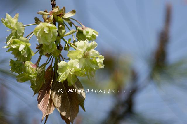 2013年 桜を探して・・・ 京都・仁和寺の御衣黄(ぎょいこう)1