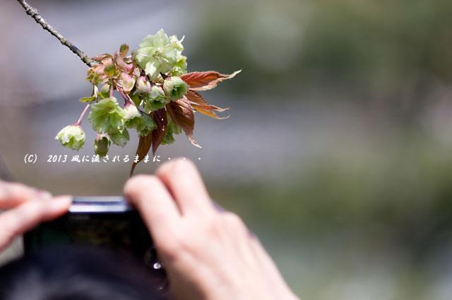 2013年 桜を探して・・・ 京都・仁和寺の御衣黄(ぎょいこう)2