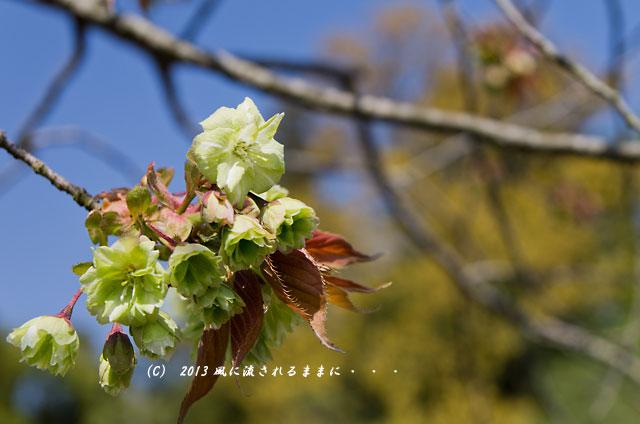 2013年 桜を探して・・・ 京都・仁和寺の御衣黄(ぎょいこう)3
