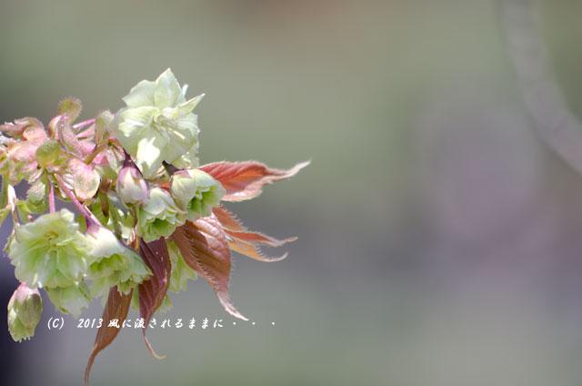 2013年 桜を探して・・・ 京都・仁和寺の御衣黄(ぎょいこう)4