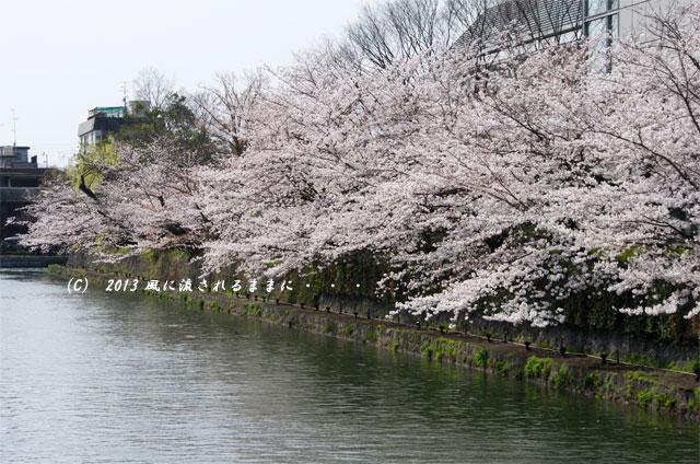 2013年 桜を探して・・・ 京都・岡崎疎水の桜3