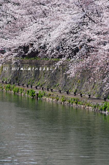 2013年 桜を探して・・・ 京都・岡崎疎水の桜4