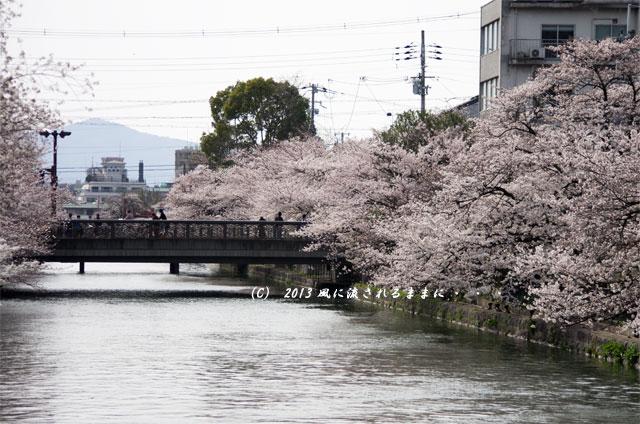 2013年 桜を探して・・・ 京都・岡崎疎水の桜5