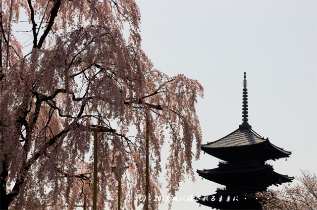 :2013年 桜を探して・・・ 京都・東寺 五重塔と不二桜2