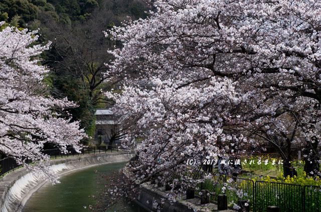 2013年 桜を探して・・・ 京都・山科疎水1