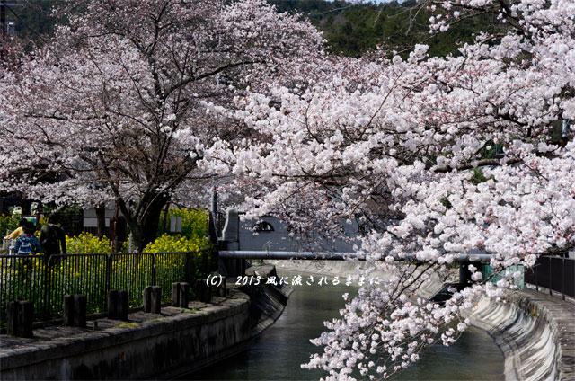 2013年 桜を探して・・・ 京都・山科疎水2