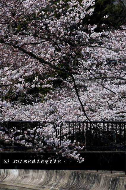 2013年 桜を探して・・・ 京都・山科疎水3