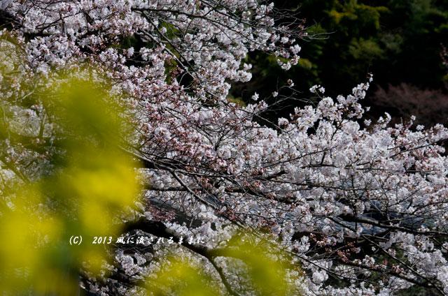 2013年 桜を探して・・・ 京都・山科疎水4