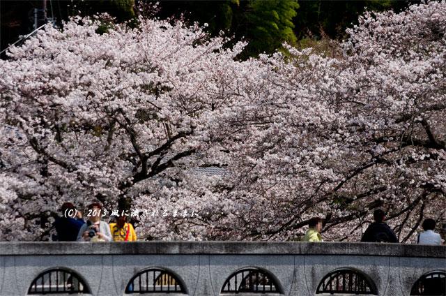2013年 桜を探して・・・ 京都・山科疎水5