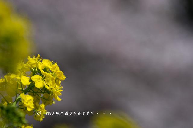 2013年 桜を探して・・・ 京都・山科疎水6