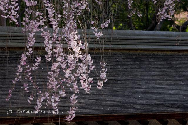2013年 桜を探して・・・ 京都・龍安寺 石庭の枝垂れ桜3