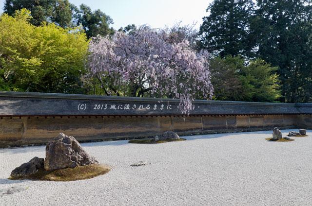 2013年 桜を探して・・・ 京都・龍安寺 石庭の枝垂れ桜4
